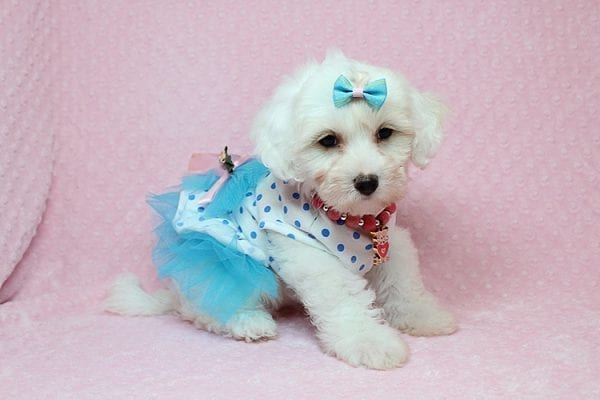Kate Upton - Toy Maltipoo Puppy found a home with Sofia L from Los Angeles CA 90005-25855