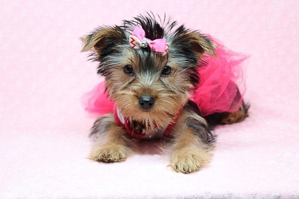 Lilah - Toy Yorkie Puppy has found a good loving home with Debbie from Tucson AZ 85739-0