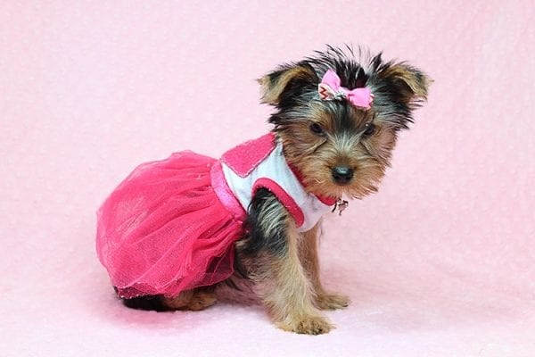 Lilah - Toy Yorkie Puppy has found a good loving home with Debbie from Tucson AZ 85739-25918