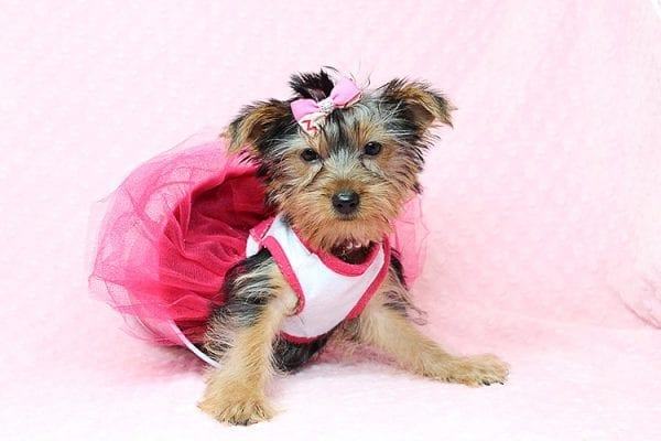 Lilah - Toy Yorkie Puppy has found a good loving home with Debbie from Tucson AZ 85739-25924