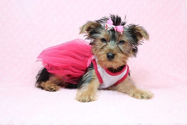 Lilah - Toy Yorkie Puppy has found a good loving home with Debbie from Tucson AZ 85739-25919