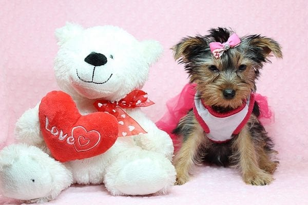 Lilah - Toy Yorkie Puppy has found a good loving home with Debbie from Tucson AZ 85739-25920