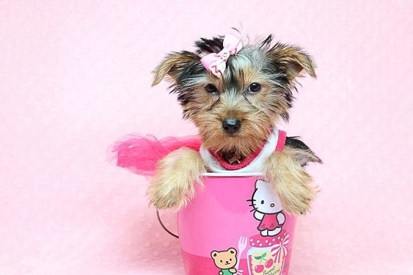Lilah - Toy Yorkie Puppy has found a good loving home with Debbie from Tucson AZ 85739-25922