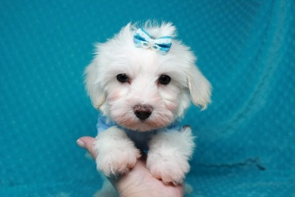 Maroon 5 - Toy Maltipoo Puppy has found a good loving home with Robert & Jan from Henderson, NV 89015-25927