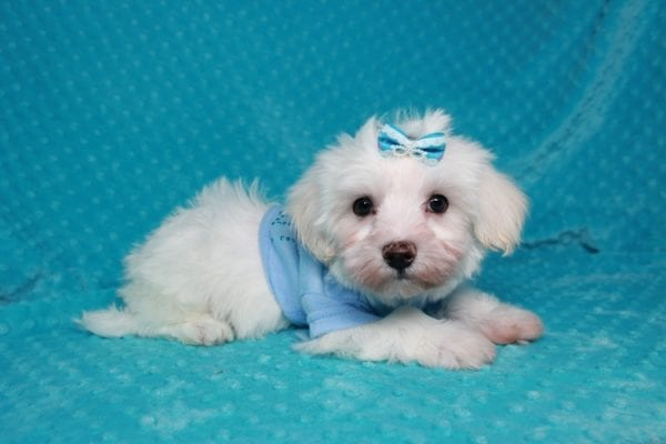 Maroon 5 - Toy Maltipoo Puppy has found a good loving home with Robert & Jan from Henderson, NV 89015-25928