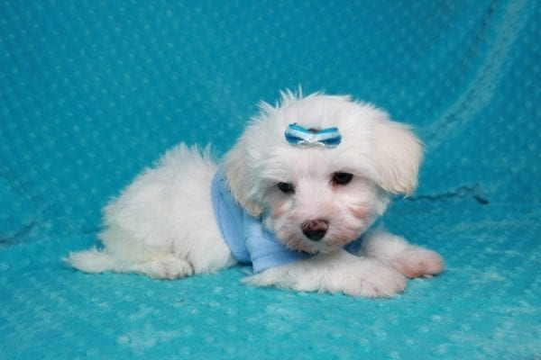 Maroon 5 - Toy Maltipoo Puppy has found a good loving home with Robert & Jan from Henderson, NV 89015-25929