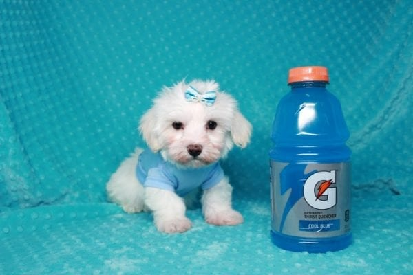 Maroon 5 - Toy Maltipoo Puppy has found a good loving home with Robert & Jan from Henderson, NV 89015-25925