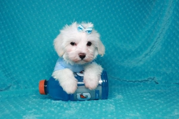 Maroon 5 - Toy Maltipoo Puppy has found a good loving home with Robert & Jan from Henderson, NV 89015-25926