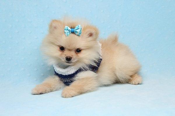 Mega Million - Tiny Teacup Pomeranian Puppy in Los Angeles CA-26032