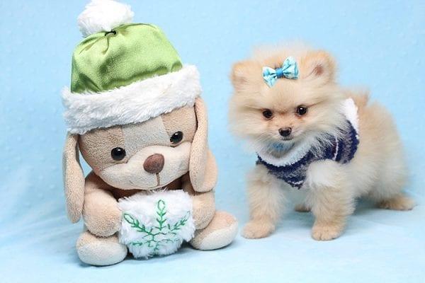 Mega Million - Tiny Teacup Pomeranian Puppy in Los Angeles CA-0
