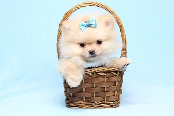 Mega Million - Tiny Teacup Pomeranian Puppy in Los Angeles CA-26034