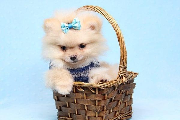 Mega Million - Tiny Teacup Pomeranian Puppy in Los Angeles CA-26035
