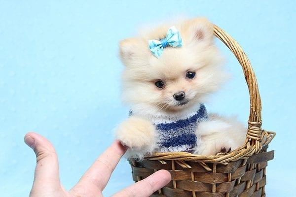 Mega Million - Tiny Teacup Pomeranian Puppy in Los Angeles CA-26036