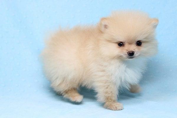 Mega Million - Tiny Teacup Pomeranian Puppy in Los Angeles CA-26027