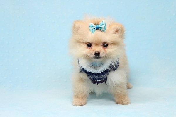 Mega Million - Tiny Teacup Pomeranian Puppy in Los Angeles CA-26028