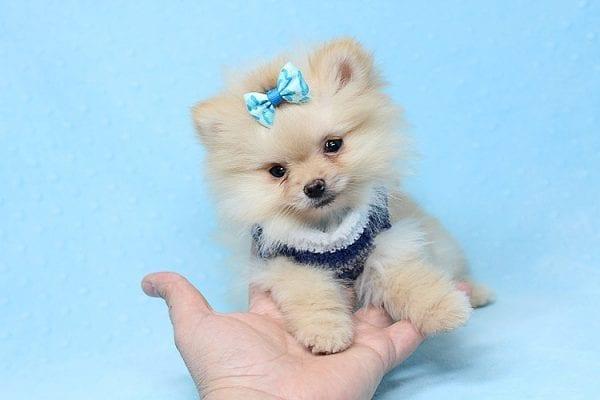 Mega Million - Tiny Teacup Pomeranian Puppy in Los Angeles CA-26029