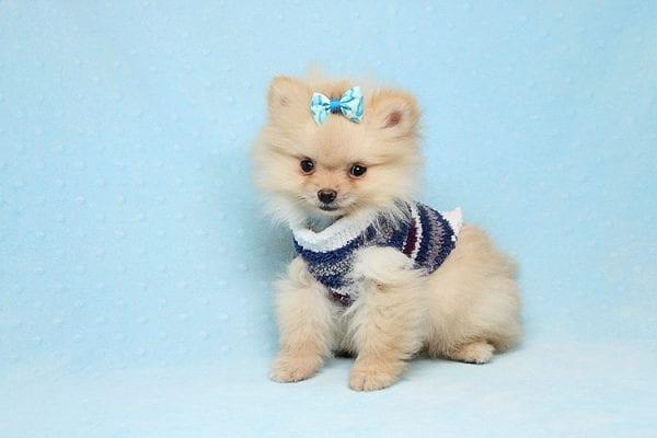 Mega Million - Tiny Teacup Pomeranian Puppy in Los Angeles CA-26030