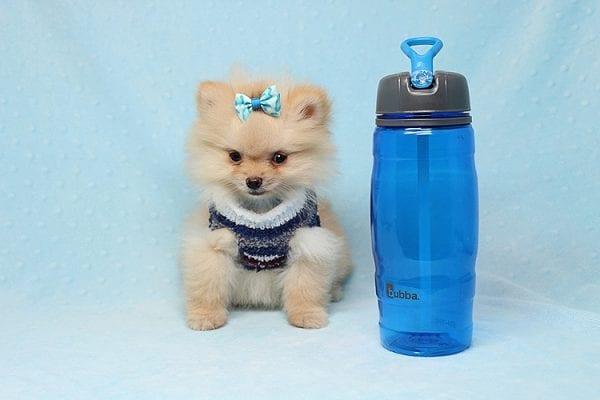 Mega Million - Tiny Teacup Pomeranian Puppy in Los Angeles CA-26031