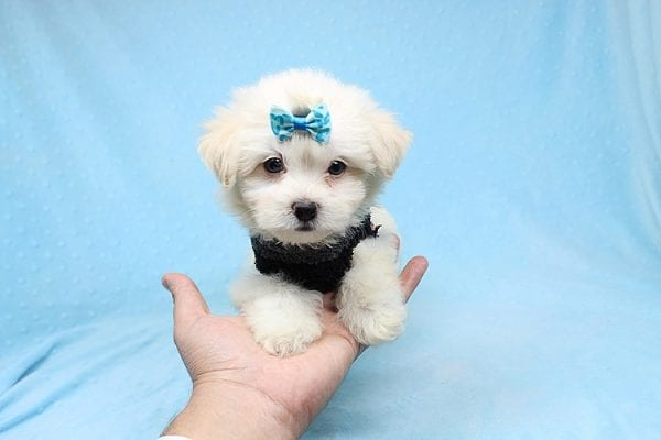 Michael Kors - Teacup Maltese Puppy Found his New Loving Home with Vasquez From Canoga Park CA 91304-25870