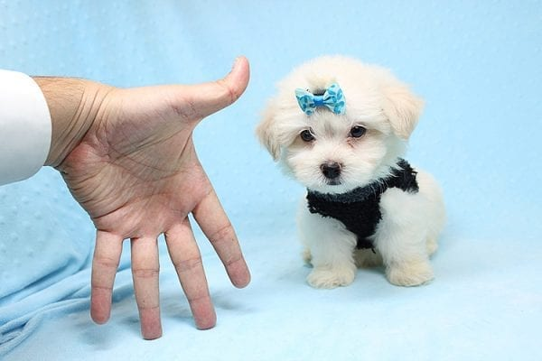 Michael Kors - Teacup Maltese Puppy Found his New Loving Home with Vasquez From Canoga Park CA 91304-25868