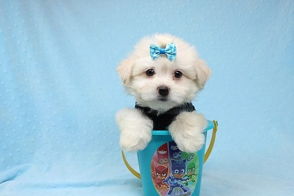 Michael Kors - Teacup Maltese Puppy Found his New Loving Home with Vasquez From Canoga Park CA 91304-25869