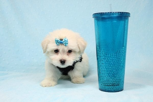 Michael Kors - Teacup Maltese Puppy Found his New Loving Home with Vasquez From Canoga Park CA 91304-25871