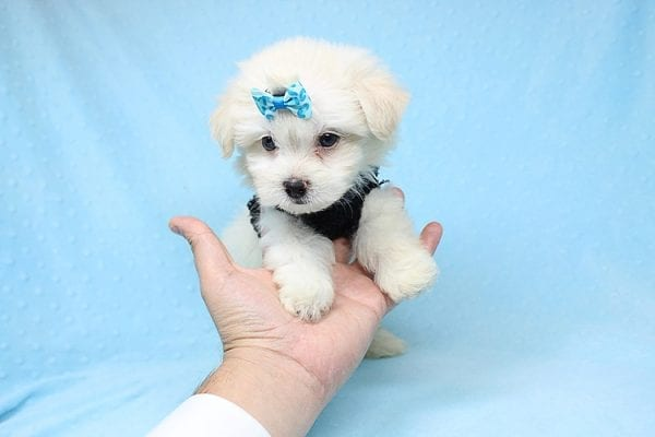 Michael Kors - Teacup Maltese Puppy Found his New Loving Home with Vasquez From Canoga Park CA 91304-25872
