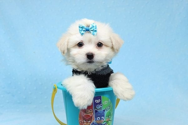 Michael Kors - Teacup Maltese Puppy Found his New Loving Home with Vasquez From Canoga Park CA 91304-25873