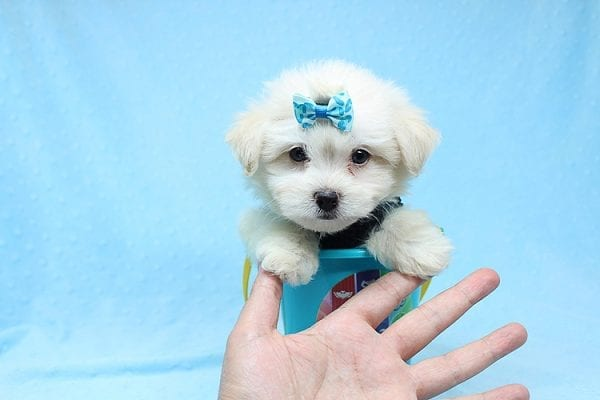 Michael Kors - Teacup Maltese Puppy Found his New Loving Home with Vasquez From Canoga Park CA 91304-0