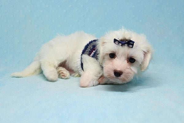 Milky Way - Toy Maltipoo Puppy Found His Good Loving Home With Paul And Lisa F. In Beverly Hills Ca, 90210-25776