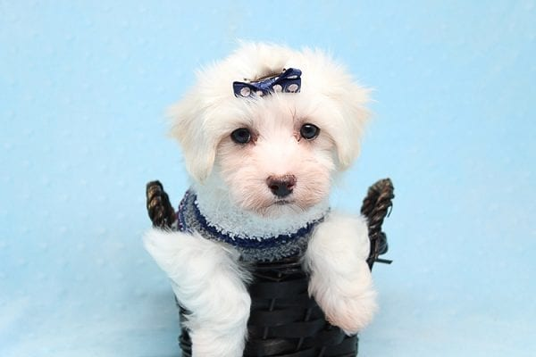 Milky Way - Toy Maltipoo Puppy Found His Good Loving Home With Paul And Lisa F. In Beverly Hills Ca, 90210-25778
