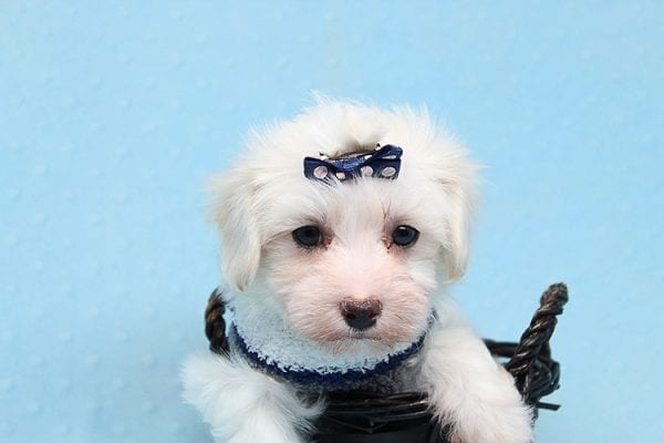 Milky Way - Toy Maltipoo Puppy Found His Good Loving Home With Paul And Lisa F. In Beverly Hills Ca, 90210-25779