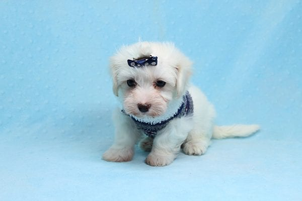 Milky Way - Toy Maltipoo Puppy Found His Good Loving Home With Paul And Lisa F. In Beverly Hills Ca, 90210-25773