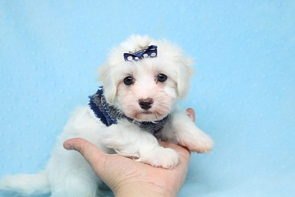 Milky Way - Toy Maltipoo Puppy Found His Good Loving Home With Paul And Lisa F. In Beverly Hills Ca, 90210-25774