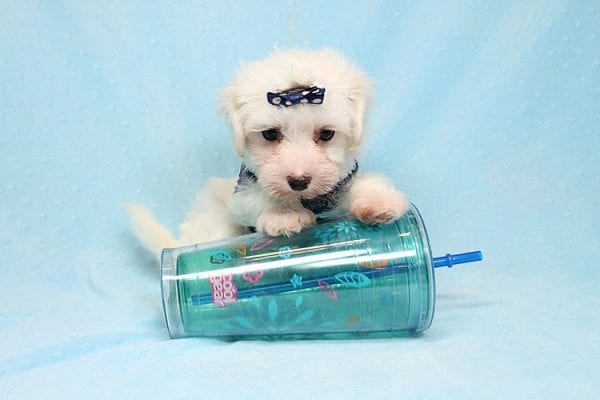 Milky Way - Toy Maltipoo Puppy Found His Good Loving Home With Paul And Lisa F. In Beverly Hills Ca, 90210-0