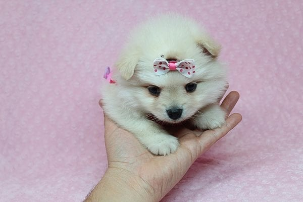 OMG - Tiny Teacup Pomeranian Puppy Found Her Good Loving Home With Abimael V. in Nampa, ID-26222