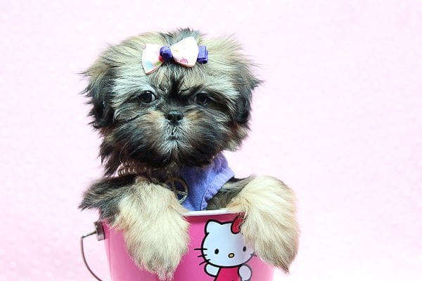 Rihanna - Toy Shih Tzu Puppy Found Her New Loving Home With Kally from Lake Sherwood CA 91361-25765