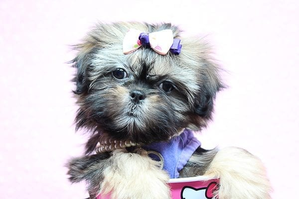 Rihanna - Toy Shih Tzu Puppy Found Her New Loving Home With Kally from Lake Sherwood CA 91361-25766