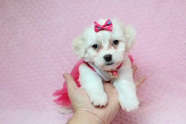 Scarlet Johansen - Toy Maltipoo Found Her New Loving Home with Michael From Panorama City CA 91402-25755