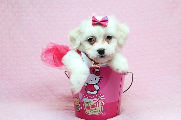 Scarlet Johansen - Toy Maltipoo Found Her New Loving Home with Michael From Panorama City CA 91402-25757