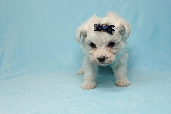 Small Foot - Tiny Teacup Maltipoo Found His New Loving Home with Jose from West Covina CA 91790-26223