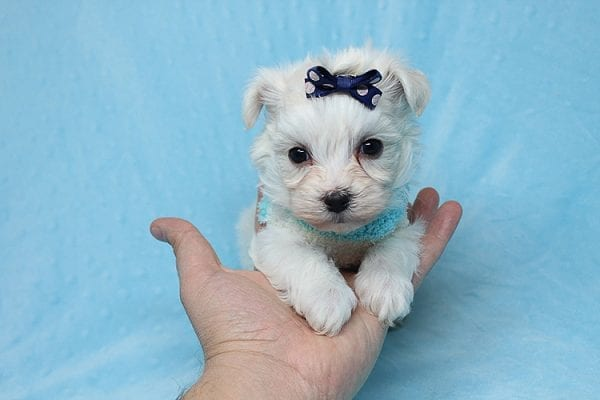 Small Foot - Tiny Teacup Maltipoo Found His New Loving Home with Jose from West Covina CA 91790-26228