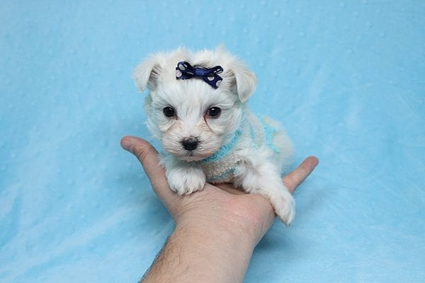 Small Foot - Tiny Teacup Maltipoo Found His New Loving Home with Jose from West Covina CA 91790-26227