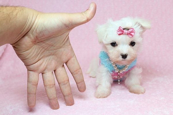 Sophia - Tiny Teacup Maltipoo Puppy has found a good loving home with Vicky from Las Vegas, NV 89145-25842