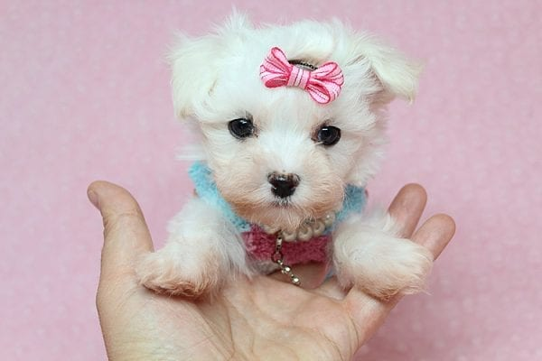 Sophia - Tiny Teacup Maltipoo Puppy has found a good loving home with Vicky from Las Vegas, NV 89145-25847