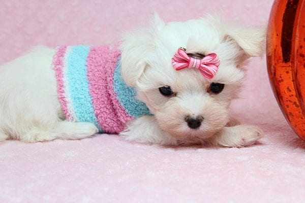 Sophia - Tiny Teacup Maltipoo Puppy has found a good loving home with Vicky from Las Vegas, NV 89145-25849