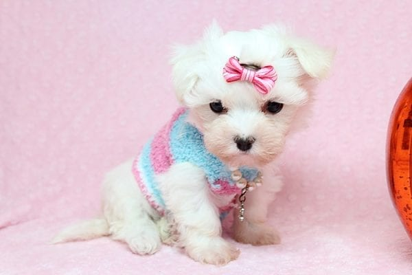 Sophia - Tiny Teacup Maltipoo Puppy has found a good loving home with Vicky from Las Vegas, NV 89145-25850