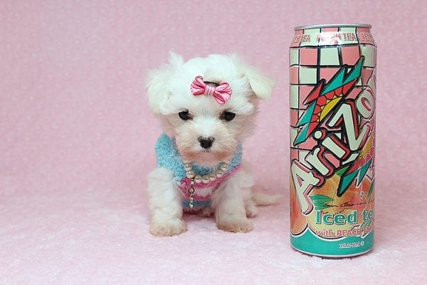 Sophia - Tiny Teacup Maltipoo Puppy has found a good loving home with Vicky from Las Vegas, NV 89145-0