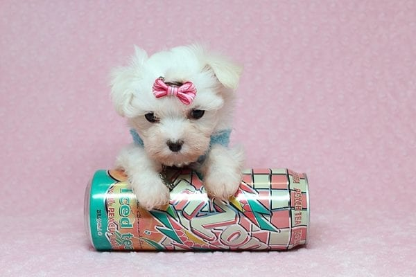 Sophia - Tiny Teacup Maltipoo Puppy has found a good loving home with Vicky from Las Vegas, NV 89145-25844