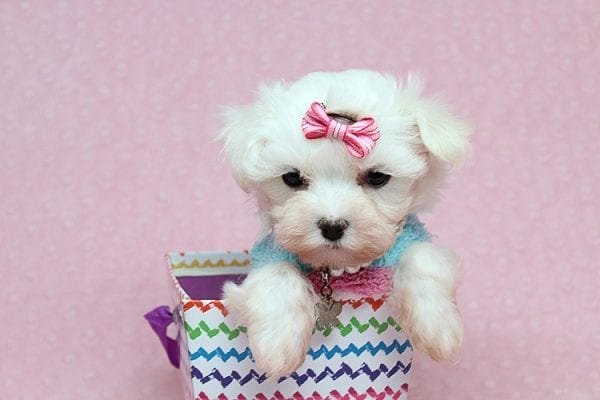 Sophia - Tiny Teacup Maltipoo Puppy has found a good loving home with Vicky from Las Vegas, NV 89145-25845